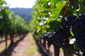 Drought hits Napa Valley 2021 harvest but quality shows promise