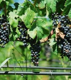 Pourquoi lever l'interdiction d'irriguer les vignes après le 15 août ?